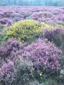 dunwichheather2